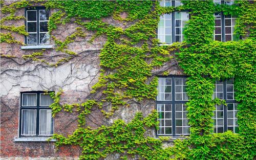 tường cây leo