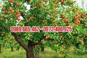 Cây táo cổ thụ giả